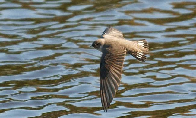740680-ptyonoprogne_rupestris_in_flight.jpg