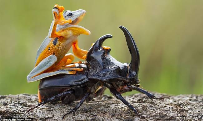 795938-frog-riding-beetle.jpg